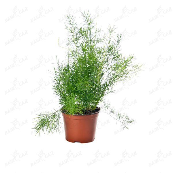 908ccf077525 Аспарагус густоцветковый Шпренгера купить по низкой цене Артикул ...