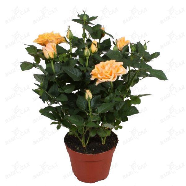 Купить комнатные цветы семена в интернет магазине недорого купить розы краснодар