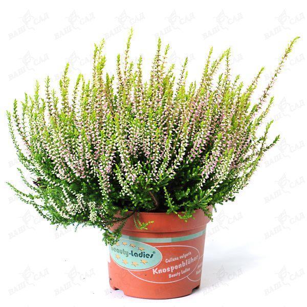 Цветы вереск в горшке цена купить