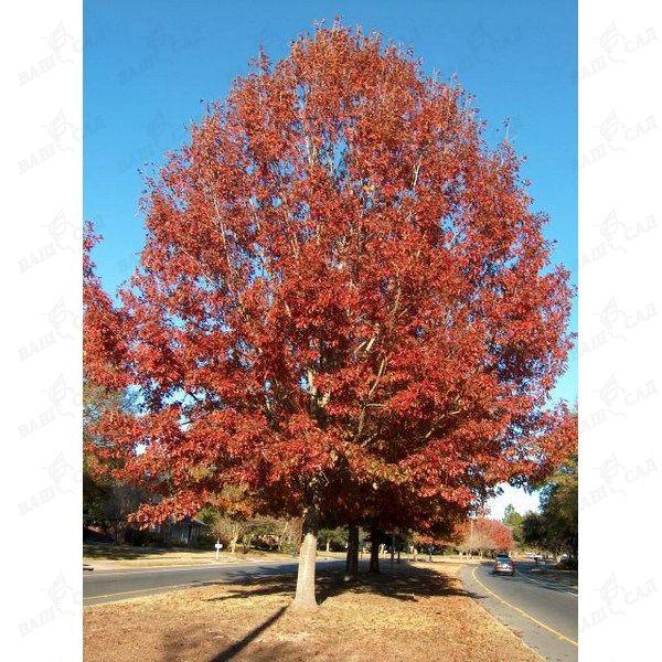 5ed7812f41e7 Дуб красный (Quercus rubra) купить по низкой цене Артикул  14607 ...