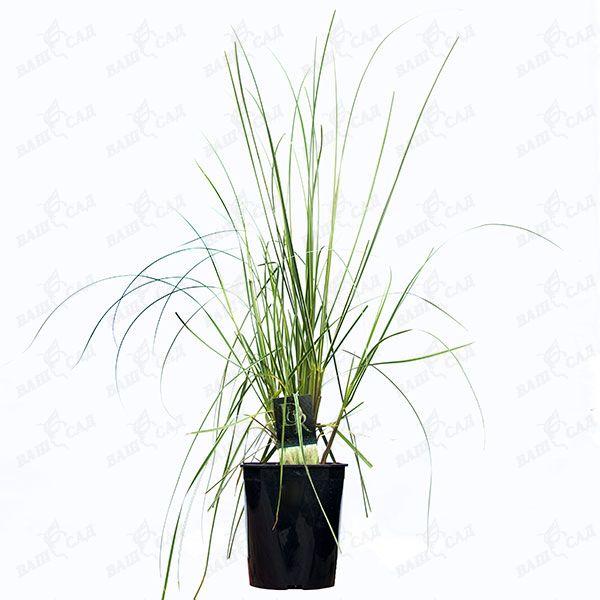 Пампасная трава рассада 78