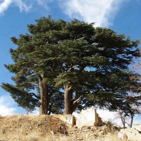 выбрала ливанский кедр в турции фото стрелка использовать только