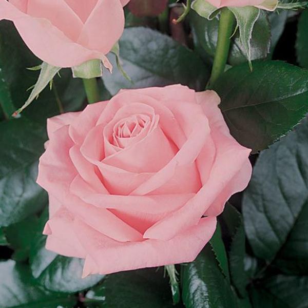 ed4f371f185b Роза чайно-гибридная Мерхен Кененген купить по низкой цене Артикул ...