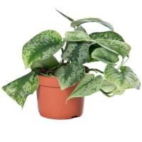 Scindapsus trebie цены в магазине ваш сад
