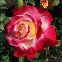 Роза чайно гибридная дабл делайт цены